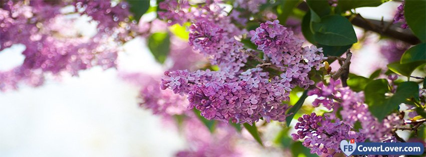 Spring Purple Lilac seasonal Facebook Cover - photo#11