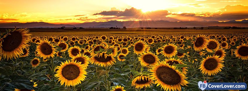 summer sunflowers seasonal facebook cover