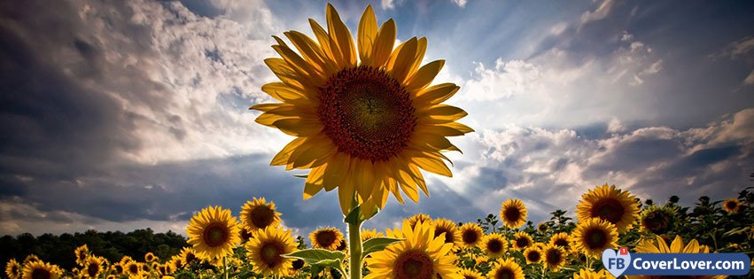 sunflower nature and landscape facebook covers photo
