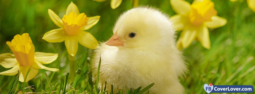Spring Accommodation Facebook Covers: Spring Chick Seasonal Facebook Cover