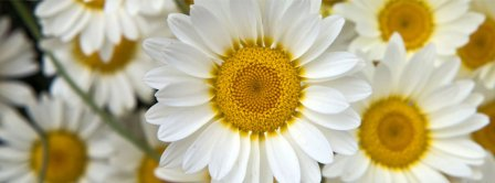 Daisies Close Up Facebook Covers