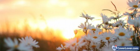 Daisies Flowers At Dawn Facebook Covers