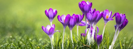 Spring Purple Crocus Facebook Covers