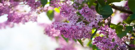 Spring Purple Lilac Facebook Covers